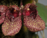 Bulbophyllum frostii. Close-up.