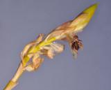 Bulbophyllum schinzianum
