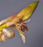 Bulbophyllum schinzianum. Closer.