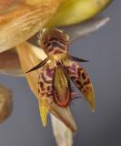 Bulbophyllum schinzianum. Close-up.