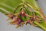 Bulbophyllum wakoi. Closer.
