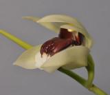 Coelogyne beccarii. Close-up side.