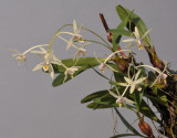 Dendrobium cymbidioides