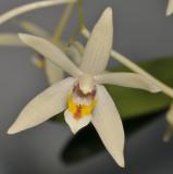 Dendrobium cymbidioides. Close-up.jpg
