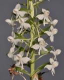 Habenaria leonensis