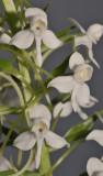 Habenaria leonensis. Closer.