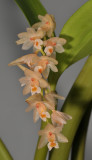 Pholidota articulata. Closer.