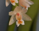Pholidota articulata. Close-up.