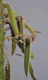 Dresslerella pilosissima