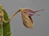 Dresslerella pilosissima. Close-up side.