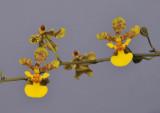 Trichocentrum cebolleta. Close-up.