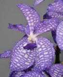 Vanda coerulea Close-up.