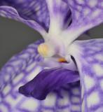 Vanda coerulea Close-up lip.
