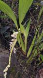 Coelogyne moultonii