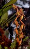 Coelogyne plicatissima. Closer.