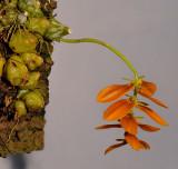 Bulbophyllum kanburiensis aff.