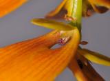 Bulbophyllum kanburiensis aff. Close-up.