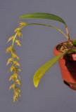 Bulbophyllum obliquum