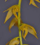Bulbophyllum obliquum. Close-up.