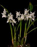 Coelogyne nitida. White flowered form.