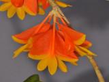 Dendrobium chrysopterum. Close-up.