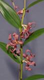 Dendrobium falcatum