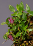 Dendrobium sp. nov. aff subacaule.