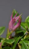 Dendrobium sp. nov. aff subacaule. Close-up side.