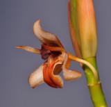 Geesinkorchis alaticallosa. Close-up side.
