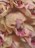 Lathraea squamaria. Close-up.