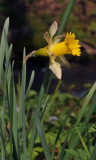 Narcissus pseudonarcissus. Closer.