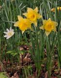 Narcissus pseudonarcissus.
