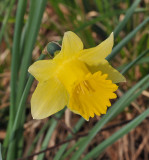 Narcissus pseudonarcissus. Close-up.