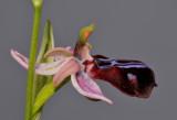 Ophrys sphegodes subsp. spruneri. Close-up side.