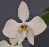 Phalaenopsis amabilis. Close-up.