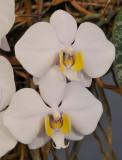Phalaenopsis philippinensis. Closer. 92