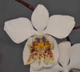 Phalaenopsis stuartiana. Close-up.