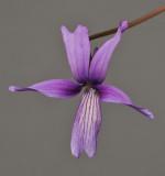 Viola sp. Taiwan.
