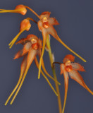 Bulbophyllum taiwanense. Closer.