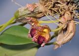 Bulbophyllum leopardinum