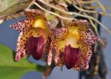 Bulbophyllum leopardinum. Close-up.