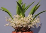Chelonistele sulphurea subsp. sulphurea.