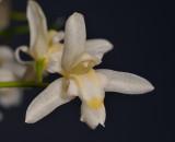 Chelonistele sulphurea subsp. sulphurea. Close-up.