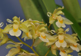 Chelonistele sulphurea subsp. sulphurea