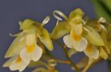 Chelonistele sulphurea subsp. sulphurea. Closer.