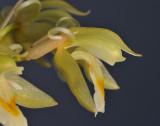 Chelonistele sulphurea subsp. sulphurea. Closer side.