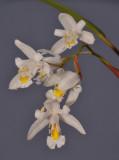 Chelonistele unguiculata. Closer.