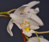 Chelonistele unguiculata. Close-up side.