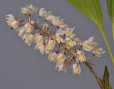 Coelogyne multiflora. Closer.