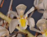 Coelogyne multiflora. Close-up.